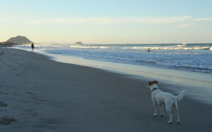 Long-Term House Sitting: Avocado the dog enjoying the beach at Tauranga, New Zealand.